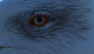 Möwenauge - Möwe, Auge, Möwenauge, Suchbild, Jonathan, Vogel, Wasservogel
