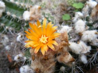 Kaktusblüte - Kaktus, Blüte, blühen, Sukkulent