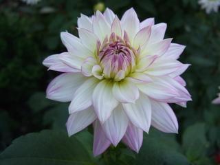 Dahlie - Blume, Natur, weiß, Herbst, Blüte, Schönheit, Biologie, Meditation, Dahlie, Sommerblume, Korbblütengewächs, Korbblüte, Knolle, Knollengewächs