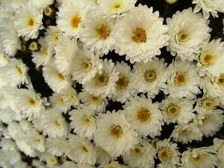 Chrysantheme - Chrysantheme, Korbblütler, Zierpflanze, Herbstpflanze, Halbstrauch
