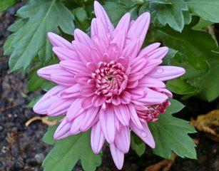 Chrysanthemenblüte - Chrysantheme, Korbblütler, Zierpflanze, Herbstpflanze, lila, Blüte, Kulturpflanze