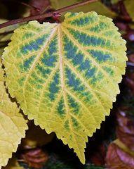 herbstliches Lindenblatt - Linde, Zweig, Blatt, Laubbaum, Herbst, Winterlinde, gezähnt
