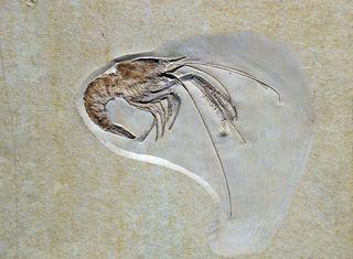 Fossil eines Langarmkrebses - Fossilien, Fossil, Versteinerung, abgestorben, Organismus, Fossilisationslehre, Evolution, Erdmittelzeit, Paläontologie, Erdgeschichte