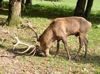 Englischer Rothirsch - Rothirsch, Hirsch, Geweih, Wiederkäuer, Paarhufer, Jagdtrophäe, Jagd, Wildtier, Damwild, heimische Tiere, Wild