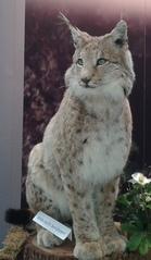 Luchs - Luchs, Wildkatze, Wildtier, Raubtier, Raubkatze, Pinselohren, Tierpark