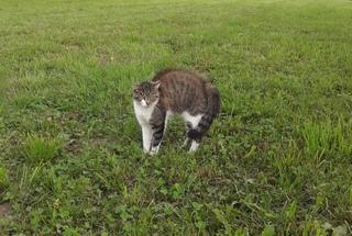 Katzenbuckel - Katze, Hauskatze, Haustier, Katzenbuckel, Verhalten, sträuben, Angst
