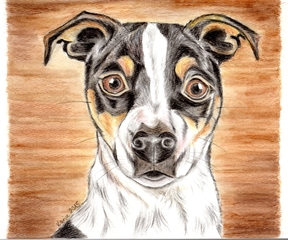 Jack Russell Terrier Amy - Hund, Haustier, Tier, Hunderasse