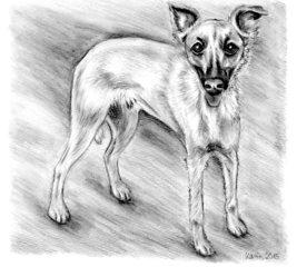 Windhund Pino - Hund, Haustier, Tier, Windhund
