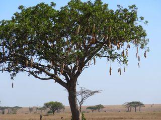 Leberwurstbaum - Baum, Afrika, Savanne, Serengeti, Trompetenbaumgewächs