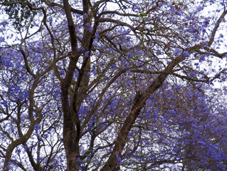 Jacaranda#2 - Baum, Afrika, Tansania, Trompetenbaumgewächs