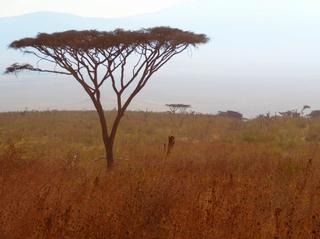 Schirmakazie  - Schirmakazie, Akazie, Savanne, Serengeti, Tansania, Afrika, Nahrungslieferant Tiere, Mimosengewächs