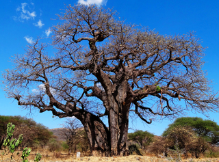 Baobab - Affenbrotbaum - Afrika, Tansania, Baum, Baobab, Bombacoideae, Malvengewächs, Nutzpflanze, Ölpflanze