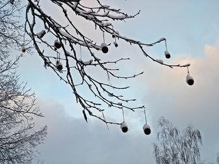 Platane im Winter#1 - Baum, Laubbaum, Winter, Schnee, Frost, hängen, Frucht, Früchte, Zweig, winterlich