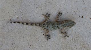 Gecko #1 - Gecko, haften, Echse, Adhäsion, Schuppenkriechtier, Reptil, Echse