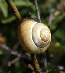 Schneckenhaus - Schneckengehäuse, Mollusken, Weichtiere, Bänderschnecke