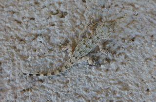 Gecko #2 - Gecko, haften, Echse, Adhäsion, Schuppenkriechtier, Reptil, Echse, Tarnung