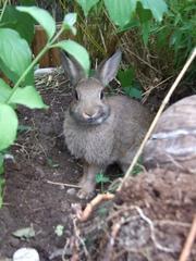 Kaninchen im Bambusgarten - Kaninchen, Jungtier, Hase, Hasenartige, Haustier, Freilauf, Pflanzenfresser, Leporidae, Karnickel, Nagetier, Fell, Ohren
