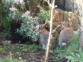 Junge Kaninchen im Garten - Kaninchen, junge Kaninchen, Jungtiere, Hase, Hasenartige, Haustier, Freilauf, Pflanzenfresser, Leporidae, Karnickel, Nagetier, Fell, Ohren, Erkunden