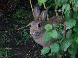 Kaninchen im Gebüsch - Kaninchen, Wildkaninchen, Domestikation, Hase, Hasenartige, Haustier, Freilauf, Pflanzenfresser, Leporidae, Karnickel, Nagetier, Fell, Ohren