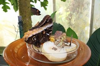 Schmetterlinge bei der Nahrungsaufnahme - Schmetterling, Insekt, Futter, Tropen, geschützt, Flügel, fliegen, fressen