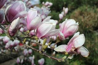 Magnolie - Magnolie, Blüte, Frühling, rosa, Zweig, Ziergehölz, Garten, Frühjahr, Blühen
