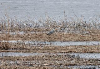 Graureiher am Ufer #1 - Graureiher, Gefieder, Standvogel, Schreitvogel, grau, Fischreiher, Tarnung, Küste