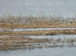 Graureiher am Ufer #2 - Graureiher, Gefieder, Standvogel, Schreitvogel, grau, Fischreiher, Tarnung, Küste
