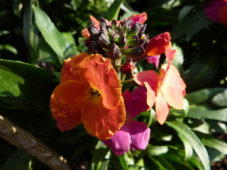 Goldlack - Goldlack, Pflanze, Gartenpflanze, Kreuzblütler, Zierpflanze
