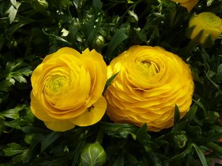 Ranunkel #2 - Ranunkel, gelb, Hahnenfußgewächs, Frühblüher, krautig, mehrjährig, Blüte, gelb