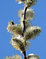 Weidenkätzchen im Frühling #7 - Weide, Blütenstand, Frühling, Frühjahr, blühen, Blätter, Salix, Laubbaum, Blatt, Ast, zweihäusig, männlich, weiblich, Kopfweide, Heilpflanze, Kätzchen, Weidenkätzchen, Palmkätzchen, Frühblüher, Frühling, blühen, Blüte, Pollen