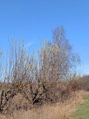 Weidenkätzchen im Frühling #4 - Weide, Blütenstand, Frühling, Frühjahr, blühen, Blätter, Salix, Laubbaum, Blatt, Ast, zweihäusig, männlich, weiblich, Kopfweide, Heilpflanze, Kätzchen, Weidenkätzchen, Palmkätzchen, Frühblüher, Frühling, blühen, Blüte, Pollen