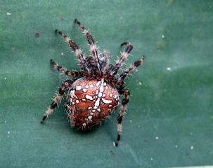 Kreuzspinne - Spinne, Kreuzspinne, krabbeln, haarig, Ekel, eklig