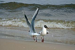 Lachmöwen - Möwe, Vogel, Gefieder, Flügel, Schnabel, Feder, Meer, Ostsee, Wasser, Strand, Sand, Welle, Möwen, Vögel, Wasservogel, laufen, fliegen