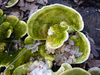 Baumpilz - Pilz, Baumpilz, Schädling, Schmarotzer, Baumschwamm, Parasit, Schwächeparasit, Struktur, Winter, Zersetzer, Totholz, Baumstamm, Fruchtkörper