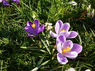 Krokus - Krokus, Frühblüher, Schwertliliengewächs, lila, Zwiebel