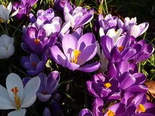Krokus - Krokus, Frühblüher, Schwertliliengewächs, lila