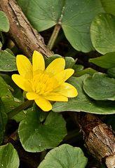 Scharbockskraut #3 - Scharbockskraut, Frühling, Ranunculus ficaria, Wurzelknollen, Blüten, Blätter, Frühblüher, krautig, Hahnenfußgewächs, Frühblüher, gelb, Giftpflanze, giftig