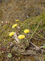 Huflattich #1 - Frühblüher, Huflattich, Korbblütler, Heilpflanze, gelb, einjährig