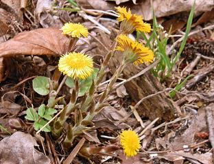 Huflattich #2 - Frühblüher, Huflattich, Korbblütler, Heilpflanze, gelb, einjährig