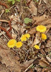 Huflattich #4 - Frühblüher, Huflattich, Korbblütler, Heilpflanze, gelb, einjährig