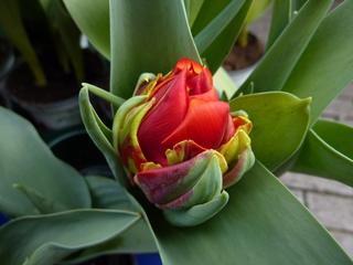 Tulpe - Frühblüher, Botanik, Garten, Tulpen, Blumen, Pflanzen, Frühling