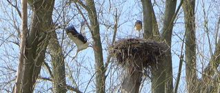 Storchenpaar - Storch, Nest, Brutstätte, Adebar, Vogel, Schreitvogel, Zugvogel, Weißstorch, Storchennest