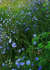 Wegwarte - Wegwarte, Pflanzen, Wildpflanzen, Ruderalfläche, Blume, blau, Zichorie, Sonnenbraut, Korbblüter, Heilpflanze, Wildpflanze, Wegrand, Ersatzkaffee, Getreidekaffee, Mythen, Mythos