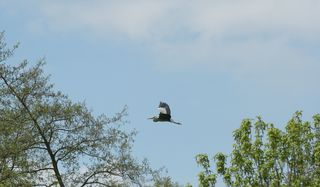Graureiher - Gefieder, Standvogel, Schreitvogel, grau, Fischreiher, Flug, Flugbild