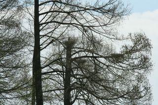 Brutplätze von Graureihern - Graureiher, Standvogel, Schreitvogel, grau, Fischreiher, Brutplatz, Nest