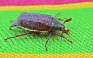 Maikäfer seitwärts - Maikäfer, Käfer, Blatthornkäfer, Insekt