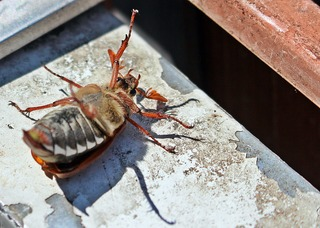Maikäfer auf dem Rücken - Maikäfer, Käfer, Blatthornkäfer, Insekt, Beine, sechs, Fühler