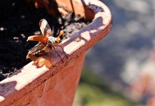 Maikäfer beim Start - Maikäfer, Insekt, Käfer, Blatthornkäfer, fliegen, Rarität