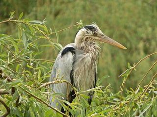 Graureiher in der Weide - Graureiher, Gefieder, Standvogel, Schreitvogel, grau, Fischreiher, Schnabel, Gefieder, Kopf
