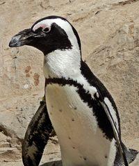 Brillenpinguin #1 - Pinguin, Tier, Zootier, Vogel, Wildtiere, Zootiere, Pinguine, Wassertier, schwarz, weiß, gefährdet, Meeresvogel, African penguin, Blackfooted penguin, Jackass penguin, Schnabel, Kopf, Gefieder